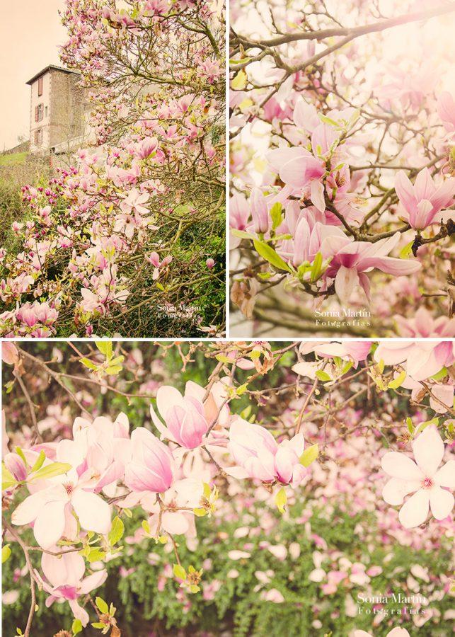 Magnolias en Donibane Garazi